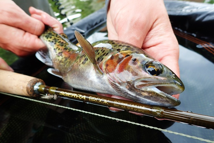 Rainbow trout guide derbyshire midlands