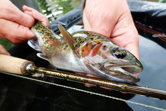 Rainbow trout guide derbyshire midlands